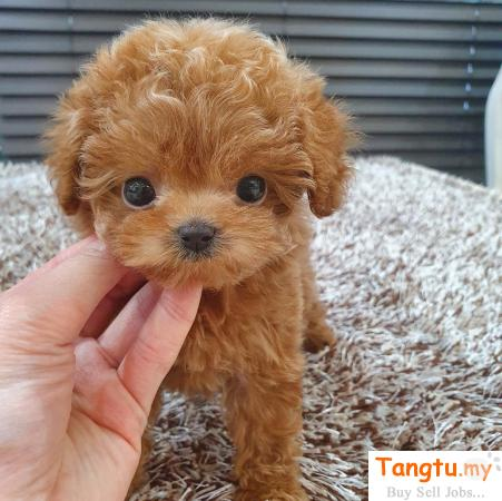 Cute Toy Poodle for re-homing Boon Lay Singapore | Tangtu.my